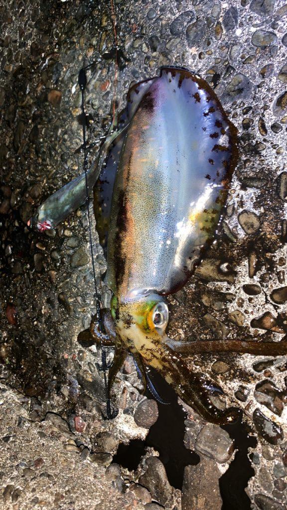 ヤエン釣りで釣りあげたアオリイカ